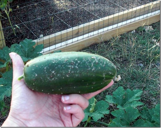 1st Cucumber
