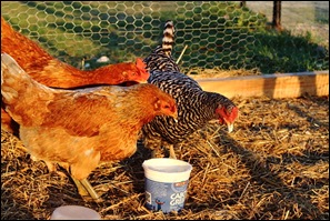 chickens and garden0010